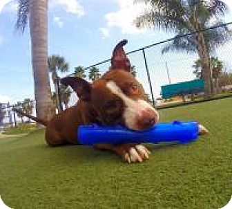 Pit Bull Terrier Mix Dog for adoption in New Smyrna Beach, Florida - Penny