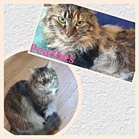 Domestic Longhair Cat for adoption in St. Louis, Missouri - Peaches (Courtesy Posting)