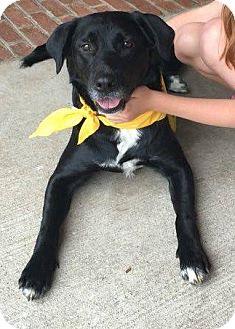 Labrador Retriever/Border Collie Mix Dog for adoption in Franklin, Tennessee - Wendy