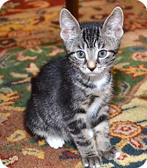 Domestic Shorthair Kitten for adoption in Davis, California - Lexus
