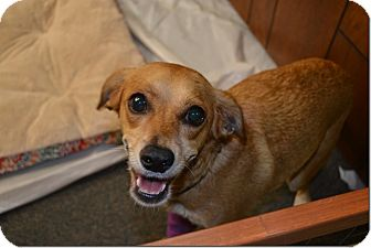 Shiba Inu Mix Dog for adoption in Tavares, Florida - Penny