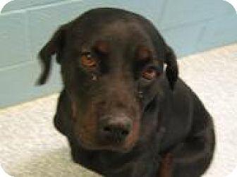 Rottweiler Dog for adoption in Stillwater, Oklahoma - Faith