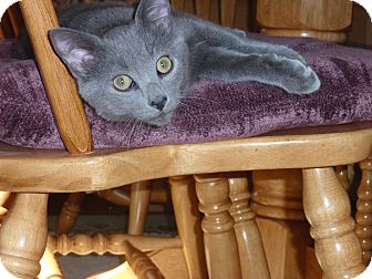 Domestic Shorthair Kitten for adoption in Carlisle, Pennsylvania - Trace