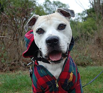 American Staffordshire Terrier Mix Dog for adoption in Wilmington, Delaware - Rocky