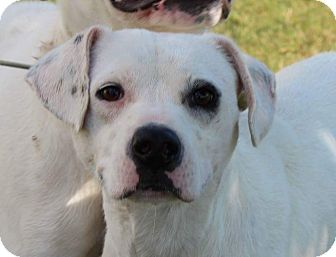 Dalmatian Mix Dog for adoption in Estill springs, Tennessee - Petey