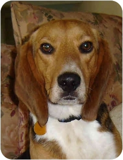 Beagle Mix Dog for adoption in Blairstown, New Jersey - Alex