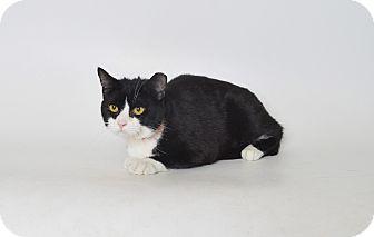 Domestic Shorthair Cat for adoption in Fruit Heights, Utah - Nelson