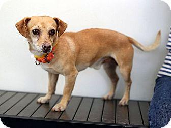 Chihuahua/Dachshund Mix Dog for adoption in Berkeley, California - Malcolm
