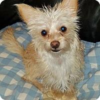 Adopt A Pet :: Piper-ADOPTION PENDING - Boulder, CO
