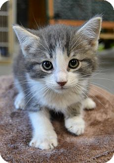 Domestic Shorthair Kitten for adoption in Michigan City, Indiana - Sunstone