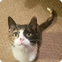 Adopt A Pet :: Sweet Caroline - Knoxville, TN