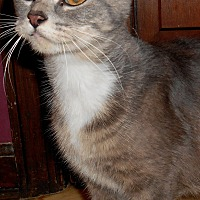 Adopt A Pet :: Mercedes(lap cat) - Chattanooga, TN