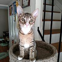 Adopt A Pet :: Bitsey - Richmond, VA