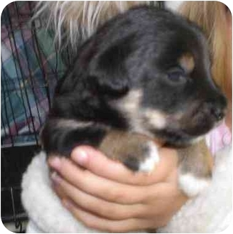 Jack Russell Terrier/Shih Tzu Mix Puppy for adoption in Rigaud, Quebec - Conner