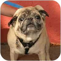 Pug Dog for adoption in Denver, Colorado - Puggsley