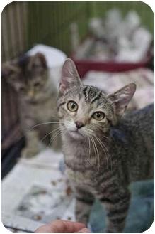 Domestic Shorthair Kitten for adoption in Brooklyn, New York - Sonny