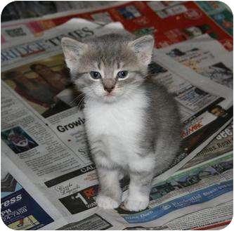 Domestic Shorthair Kitten for adoption in Cambridge, Ontario - Heidi