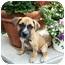 Photo 1 - Boxer/Labrador Retriever Mix Puppy for adoption in Detroit, Michigan - Karma- pending!