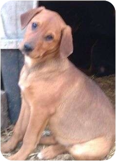Golden Retriever/Labrador Retriever Mix Puppy for adoption in Staunton, Virginia - Daisy