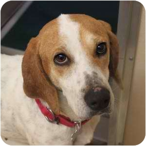 Coonhound Mix Dog for adoption in Naperville, Illinois - Sarah