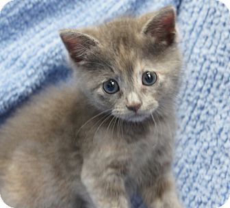 Russian Blue Kitten for adoption in Houston, Texas - Lady Grey