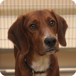 Setter (Unknown Type)/Labrador Retriever Mix Dog for adoption in Naperville, Illinois - Shane