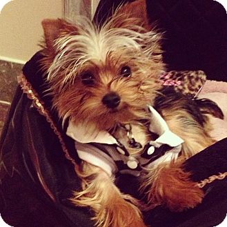 Yorkie, Yorkshire Terrier Puppy for adoption in Statewide and National, Texas - Baylor