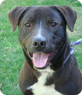 Labrador Retriever Mix Puppy for adoption in Red Bluff, California - O'Reilly