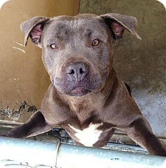 American Pit Bull Terrier Mix Dog for adoption in Red Bluff, California - MERCEDES
