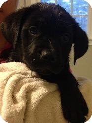 Labrador Retriever Mix Puppy for adoption in Marlton, New Jersey - Felicity