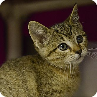 Domestic Shorthair Kitten for adoption in Stillwater, Oklahoma - Nutmeg