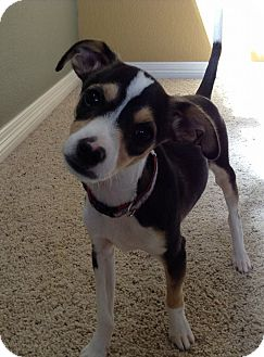 Rat Terrier/Beagle Mix Puppy for adoption in Broomfield, Colorado - Boomer
