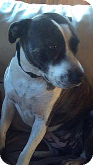 Bull Terrier/Pit Bull Terrier Mix Dog for adoption in New Smyrna beach, Florida - MACEY