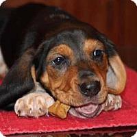 Adopt A Pet :: Bishop - Portland, OR