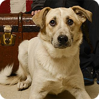 Great Pyrenees/Labrador Retriever Mix Dog for adoption in Stillwater, Oklahoma - Kelsey