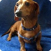 Adopt A Pet :: Beemer - Chandler, AZ