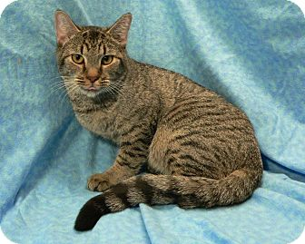 Domestic Shorthair Cat for adoption in Greensboro, North Carolina - Jack