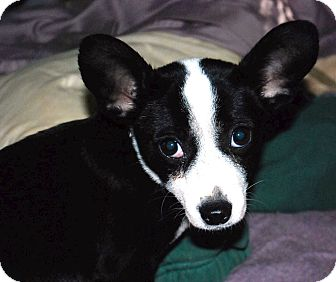 Chihuahua Mix Dog for adoption in Atlanta, Georgia - Pierce