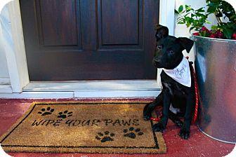 Labrador Retriever/Shepherd (Unknown Type) Mix Puppy for adoption in Portland, Oregon - Onyx