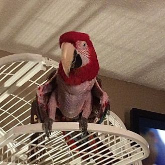 Macaw for adoption in St. Louis, Missouri - Bill