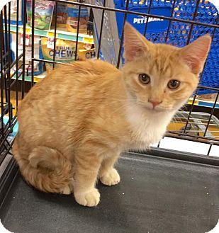 Domestic Shorthair Kitten for adoption in Smithtown, New York - Sonny