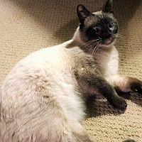 Siamese Cat for adoption in Montgomery, Illinois - Cyrano