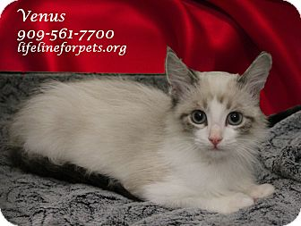 Siamese Kitten for adoption in Monrovia, California - A Baby: VENUS