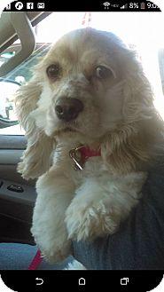 Cocker Spaniel Dog for adoption in Aiken, South Carolina - Bonnie