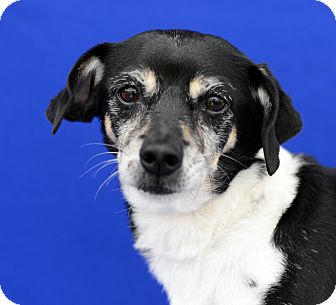 Rat Terrier/Terrier (Unknown Type, Small) Mix Dog for adoption in LAFAYETTE, Louisiana - WINNIE