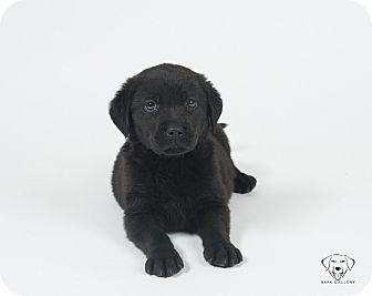 Labrador Retriever Mix Puppy for adoption in Henderson, Nevada - Puppies!