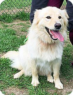 Golden Retriever Mix Dog for adoption in BIRMINGHAM, Alabama - Natasha