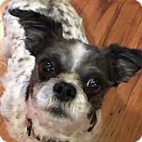 Adopt A Pet :: Peggy Sue-adoption pending - Schaumburg, IL