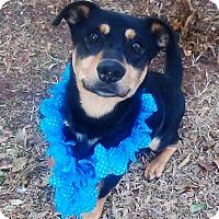 Adopt A Pet :: Quill - Vernon, TX