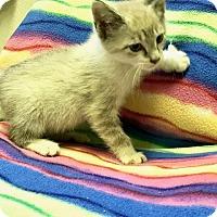 Snowshoe Kitten for adoption in Jackson, Tennessee - Fitz